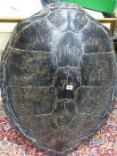 TWO LARGE EARLY 20TH.C.TURTLE CARAPACE. 90 AND 93CMS LONG