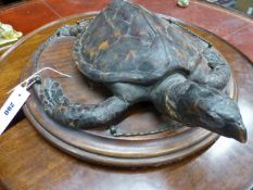 A 19TH.C.FULL MOUNTED SMALL HAWKSBILL TURTLE ON GALLERIED MAHOGANY BASE.