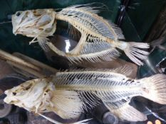 TWO FULL SKELETAL FISH MOUNTS AND A FURTHER FISH SKULL.