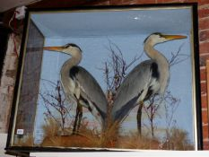A VICTORIAN TAXIDERMY CASED PAIR OF BLUE HERONS, ARDEA HERNIAS, BY WM. BAZLEY OF NORTHAMPTON WITH