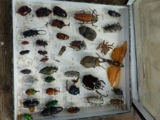 A COLLECTION OF BEETLE SPECIMENS,ETC