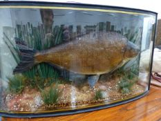 "A GOOD TAXIDERMY MOUNTED BREAM IN GLAZED BOW FRONT CASE AND WITH LEGEND ""BREAM 7 1/4 LBS, CAUGHT"