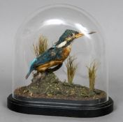 A Victorian taxidermy specimen of a Kingfisher (Alcedines) Set in a naturalistic setting under a