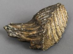 A small mammoths tooth Of natural form. 13 cm wide.