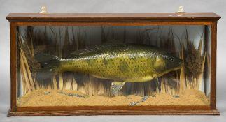 A taxidermy specimen of a Carp (Cyprinus carpio) In a naturalistic setting, in a glazed case.
