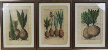 Emanuel Sweert: 3 Kupferstiche aus Floregium Amplissimum et Selectissimum, erschienen Frankfurt a.