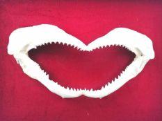 Präparat eines Haifischkiefersauf rotem Samt montiert, gerahmt;