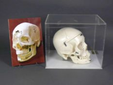 Anatomischer Schädel 16-tlg., auseinandernehmbar; unter Staubschutzkassette aus Plexiglas; 20 x 20 x