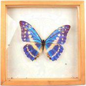SCHMETTERLING - MORPHO CYPRIS, Edelfalter m. blauschimmernden Flügel, Mittel- u. Südamerika,