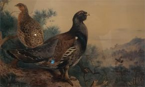 A framed print of capercaille in landscape limited edition print no 41 of 400 by A. Thorburn