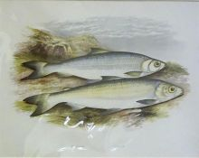 A Group Of Seven Assorted Fish Prints, 22 x 30.5cm, mounted on card, (7)