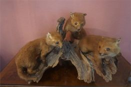 A Taxidermy Baby Fox Group, in the form of three fox cubs raised on a naturalistic tree stump,