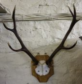 A Set of Wall Mounting Horn Ten Point Antlers, raised on a shield shaped plinth, 70cm high