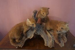 A Taxidermy Baby Fox Group, in the form of three fox cubs, raised on a naturalistic tree stump, 43cm