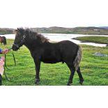 Black - Standard - Colt Foal, - DOB: 8th May 2018
