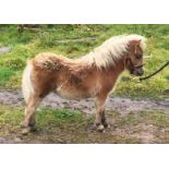 Cream Dun - Miniature - Filly Foal, - DOB: 29th May 2018