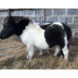 Piebald - Standard - Colt Foal, - DOB: 20th May 2018