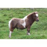 Red & White Skewbald - - Colt Foal, - DOB: 16th May 2018