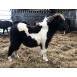 Piebald - Miniature - Colt Foal, - DOB: 8th May 2018