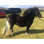 """Black with White Marks - Approx 39"""" - Mare, - DOB: 2nd April 2008"""