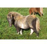 Skewbald - Miniature - Filly Foal, - DOB: 1st June 2018