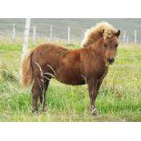 Chestnut - Miniature - Filly Foal, - DOB: 13th April 2018
