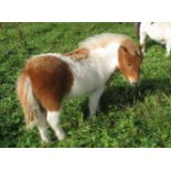 Skewbald - Standard - Filly Foal, - DOB: 9th May 2018
