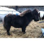 Black - Miniature - Filly Foal, - DOB: 30th April 2018