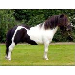 "Piebald - 33.5"" - Licensed Stallion, - DOB: 18th May 2008"