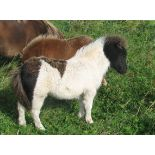 Piebald - Miniature - Colt Foal, - DOB: 24th May 2018