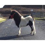 Piebald - Miniature - Colt Foal, - DOB: 6th May 2018