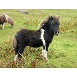 Piebald - Miniature - Colt Foal, - DOB: 15th May 2018