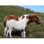 Skewbald - Standard - Colt Foal, - DOB: 31st May 2018