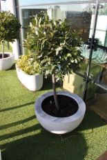 Lot 55 - 2 x Concrete white painted planter 760mm x 400mm with Bay tree and 1 with short bush