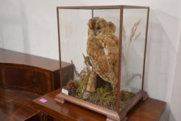 Taxidermy: a Tawny Owl, perched on a stump, in a fitted glass case, with copy of CITES license no.