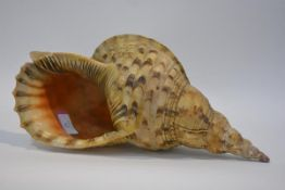 A large Murex seashell, mottled brown. Length 41cm