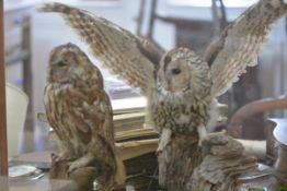 Taxidermy: two tawny owls, one with wings extended, in a glazed case. Case 63cm by 76cm by 38cm