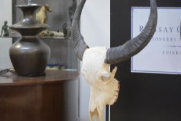 A water buffalo skull, mounted on a metal stand. Height overall 92cm