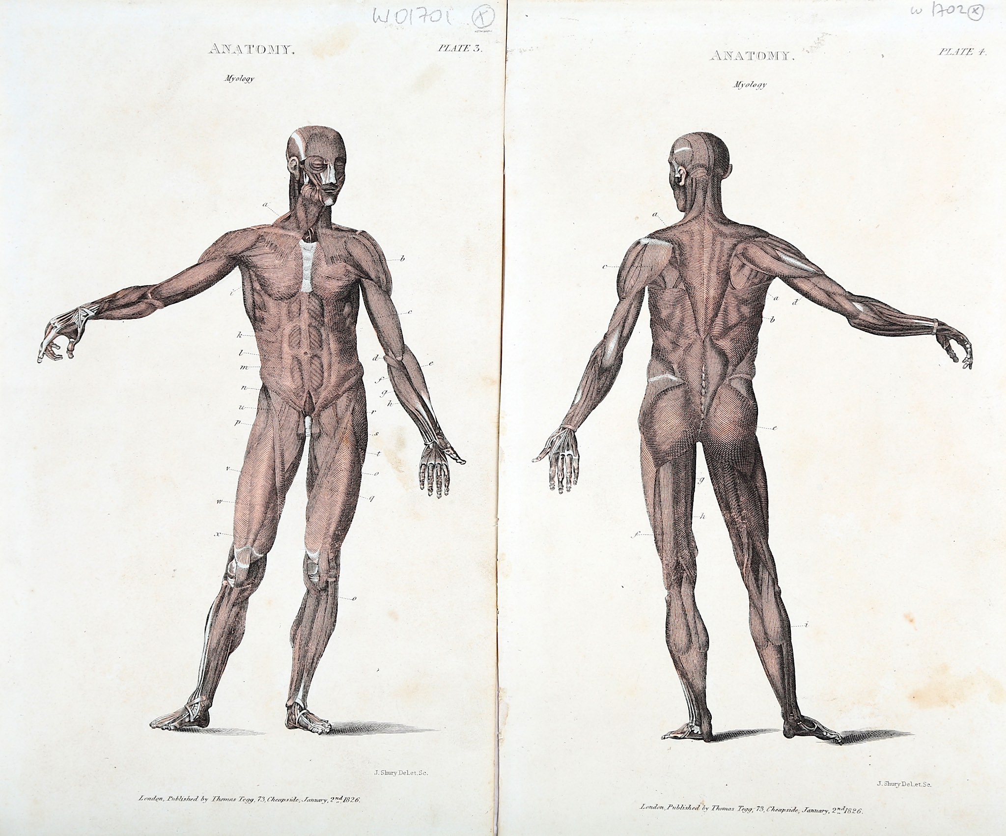 Anatomy A collection of lithographed plates by Langlumé et Angelman ...