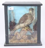 Lot 48 - Taxidermy, a cased kestrel, height 33cm, width 29cm, depth 21.