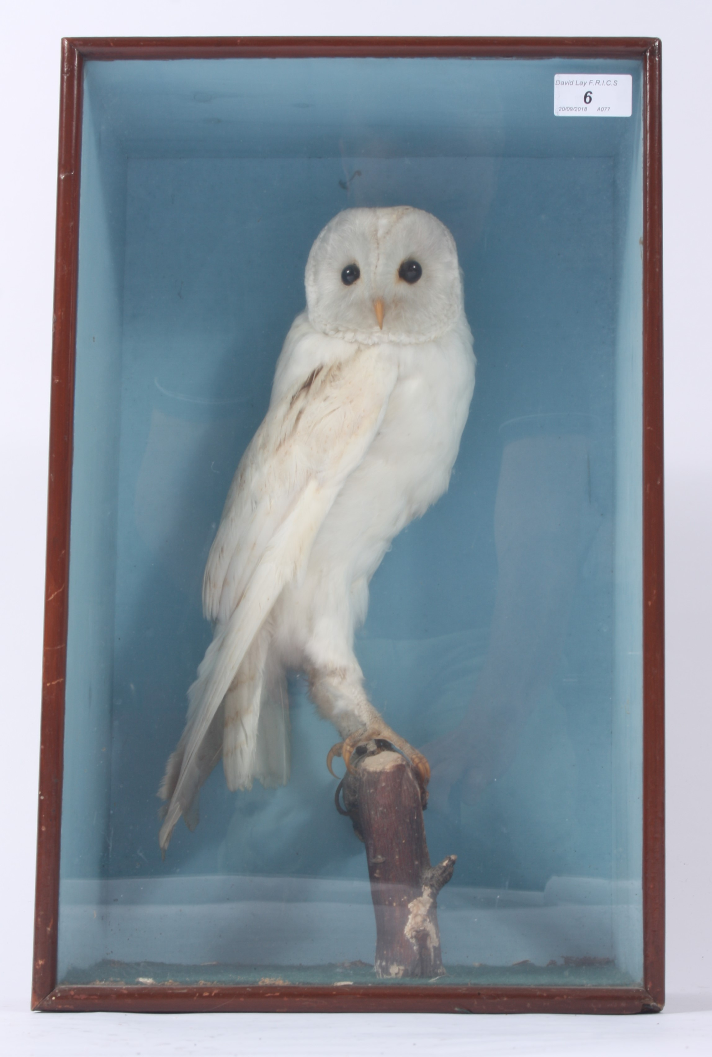 Lot 6 - A taxidermy white barn owl, perched on a branch in a glazed mahogany display case, height 47.