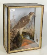 Lot 49 - Taxidermy, a cased sparrowhawk, height 42cm, width 33cm, depth 17.