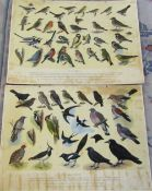 2 ornithological display boards 87 cm x 63 cm