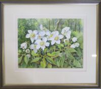 Watercolour 'Helleborus Niger' by Lyn Calam 45 cm x 39 cm (size including frame)