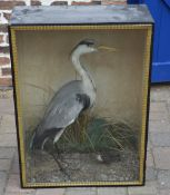Taxidermy heron in a glass front case
