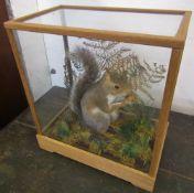 Cased grey squirrel in naturalistic setting H 36 cm L 33 cm D 19 cm