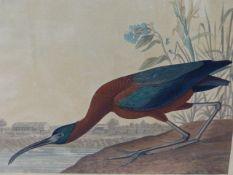JOHN JAMES AUDUBON (1785-1851) THE GLOSSY IBIS. A HAND COLOURED ELEPHANT FOLIO PRINT, ENGRAVED,