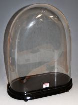Lot 38 - A Victorian glass dome on ebonised oval plinth, approx h.43cm (including plinth)