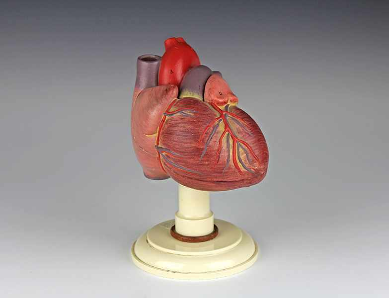 """Lot 58 - Medizin - - Anatomisches Modell vom menschlichen Herz. Deutschland um 1950, bezeichnet """"Somso, DGM"""