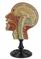Lot 54 - Medizin - - Anatomisches Schnittmodell eines menschlichen Kopfes. Böhmen um 1890, unsigniert, Gips